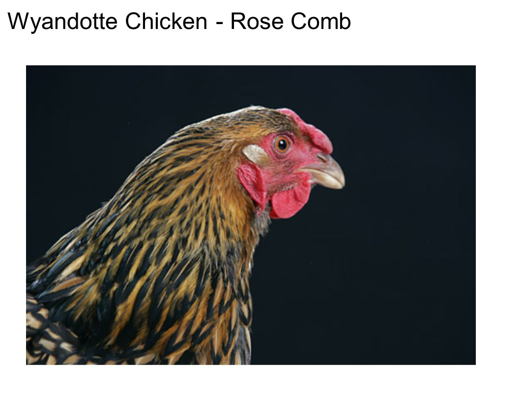 Wyandotte Chicken - Rose Comb