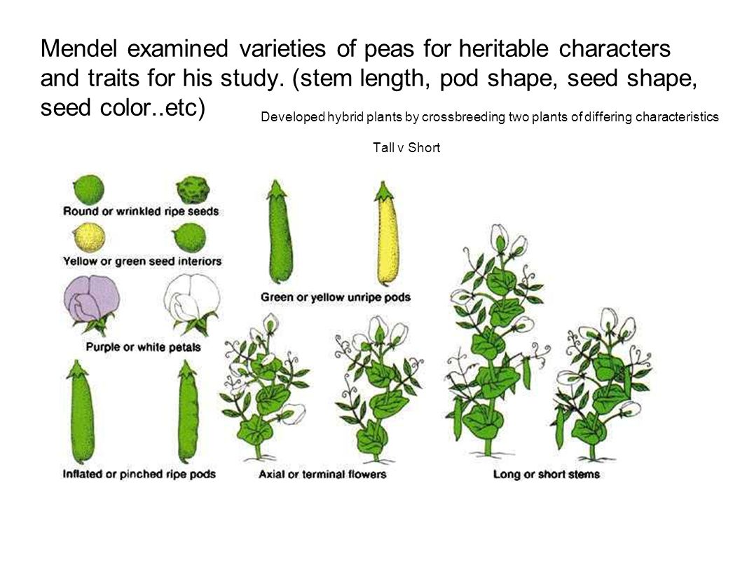 Mendel examined varieties of peas for heritable characters and traits for his study. (stem length, pod shape, seed shape, seed color..etc)