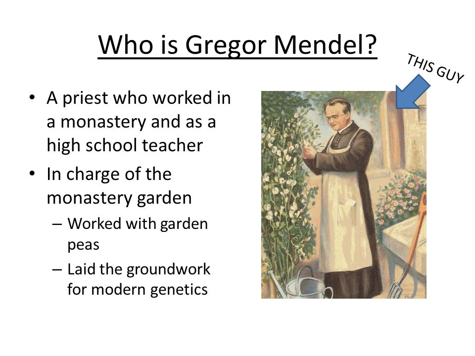 Who is Gregor Mendel THIS GUY. A priest who worked in a monastery and as a high school teacher. In charge of the monastery garden.