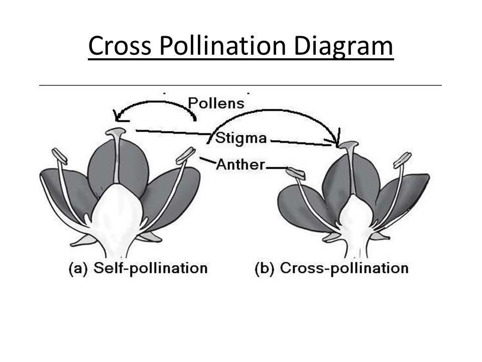 Cross Pollination Diagram