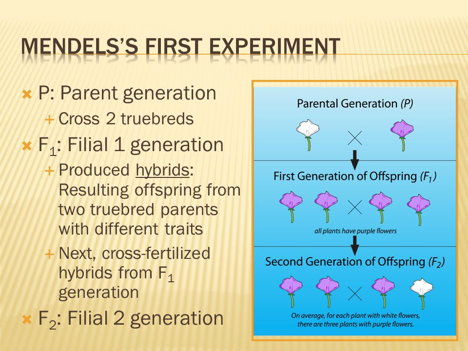 Mendels's first experiment
