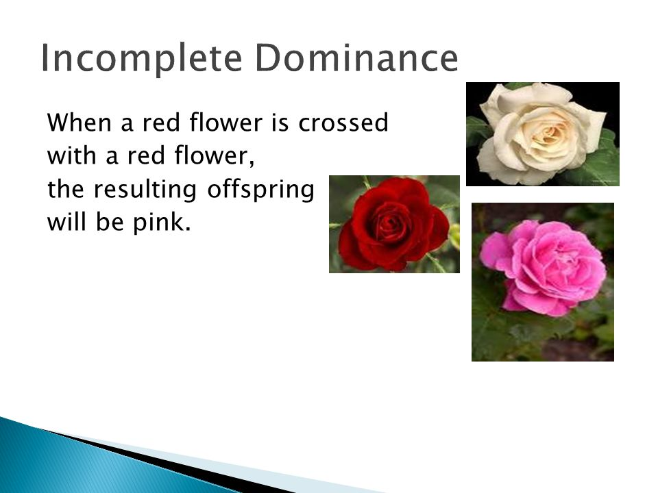 Incomplete Dominance When a red flower is crossed with a red flower,