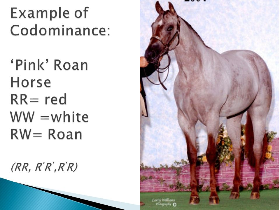 Example of Codominance: 'Pink' Roan Horse RR= red WW =white RW= Roan (RR, R'R',R'R)