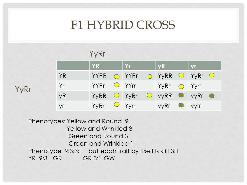 F1 Hybrid Cross YyRr YR Yr yR yr YYRR YYRr YyRR YyRr YYrr Yyrr yyRR