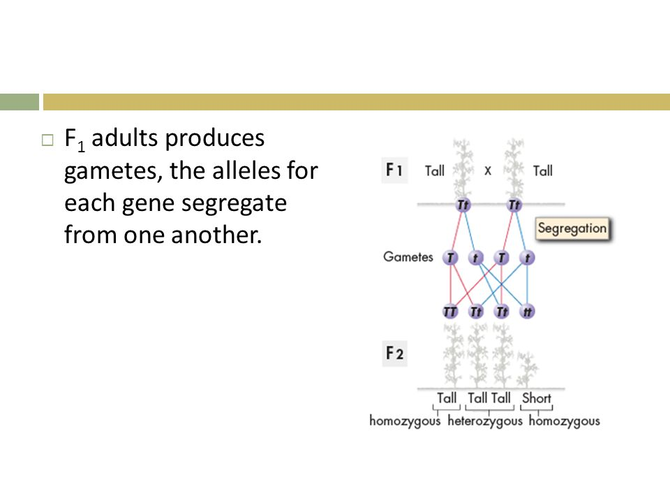 F1 adults produces gametes, the alleles for each gene segregate from one another.