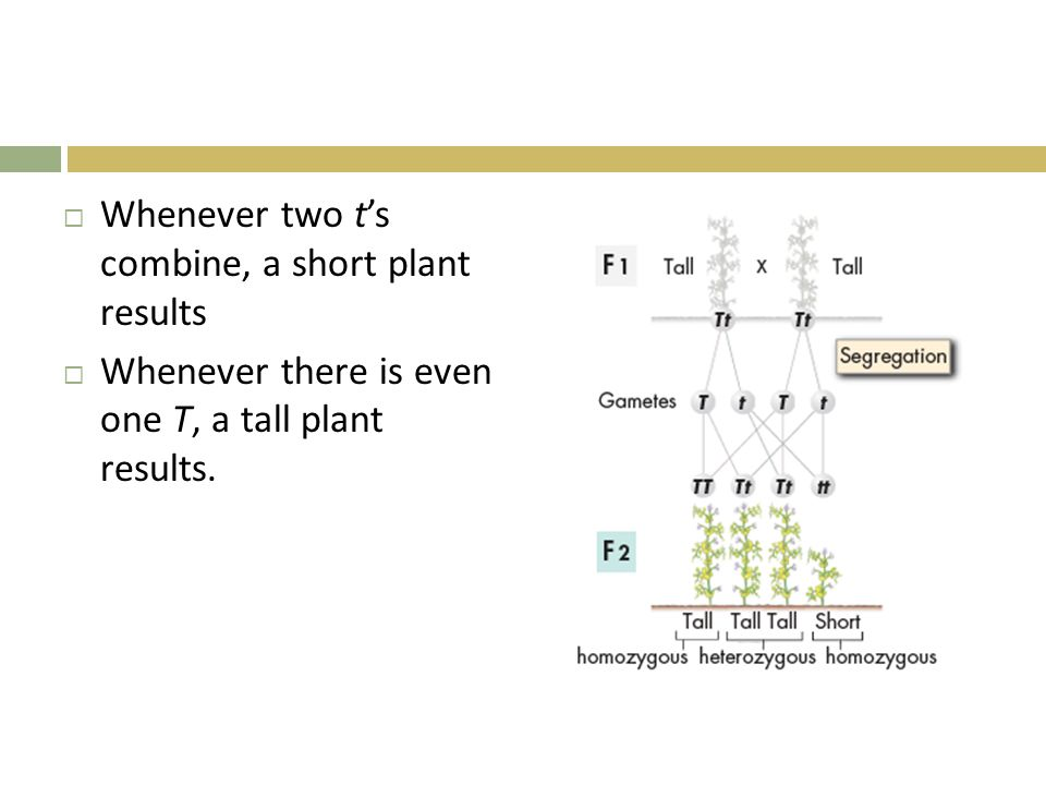 Whenever two t's combine, a short plant results