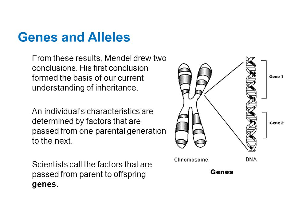 Genes and Alleles From these results, Mendel drew two conclusions. His first conclusion formed the basis of our current understanding of inheritance.