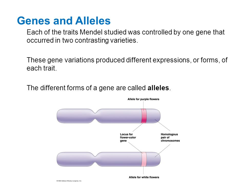 Genes and Alleles Each of the traits Mendel studied was controlled by one gene that occurred in two contrasting varieties.