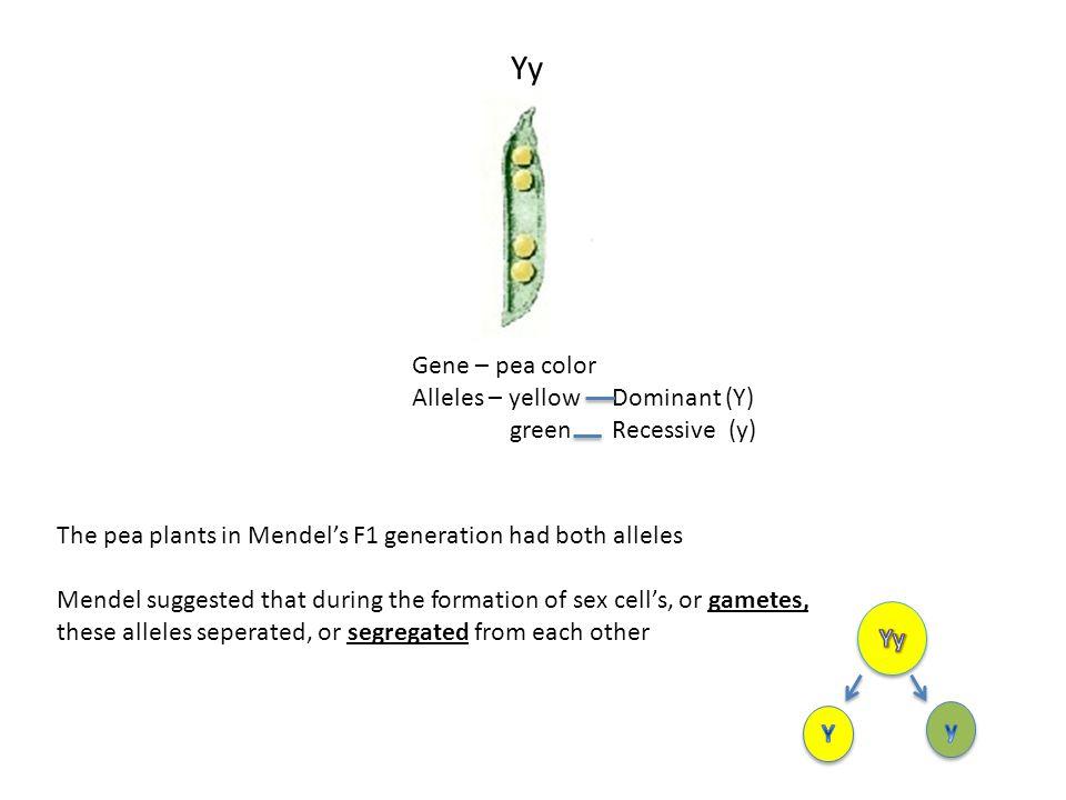 Yy Gene – pea color Alleles – yellow green Dominant (Y) Recessive (y)