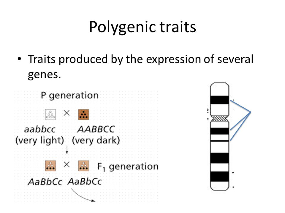 Polygenic traits Traits produced by the expression of several genes.