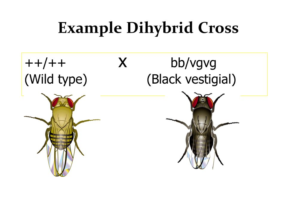 fruit fly dihybrid cross In this experiment you will have the d melanogaster mate to get an f2 generation which you will use to make your dihybrid cross to get your observed ratio the observed f2 generation of the experimental dihybrid cross ratio ended up being 9:3:3:1, with 276 wild type/wild type, 115 ebony/wild type, 90 vestigial/wild type, and 21 vestigial/ebony.