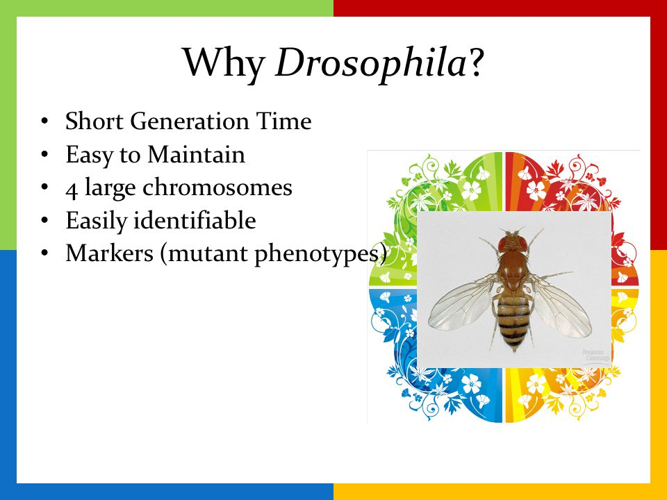 Why Drosophila Short Generation Time Easy to Maintain