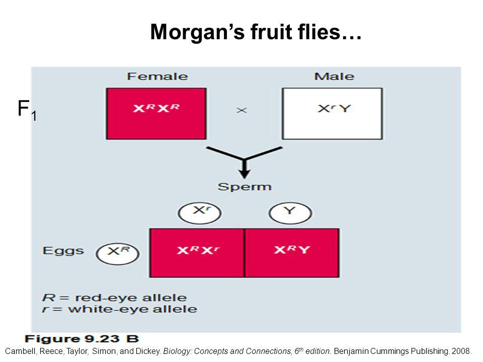 Morgan's fruit flies… F1