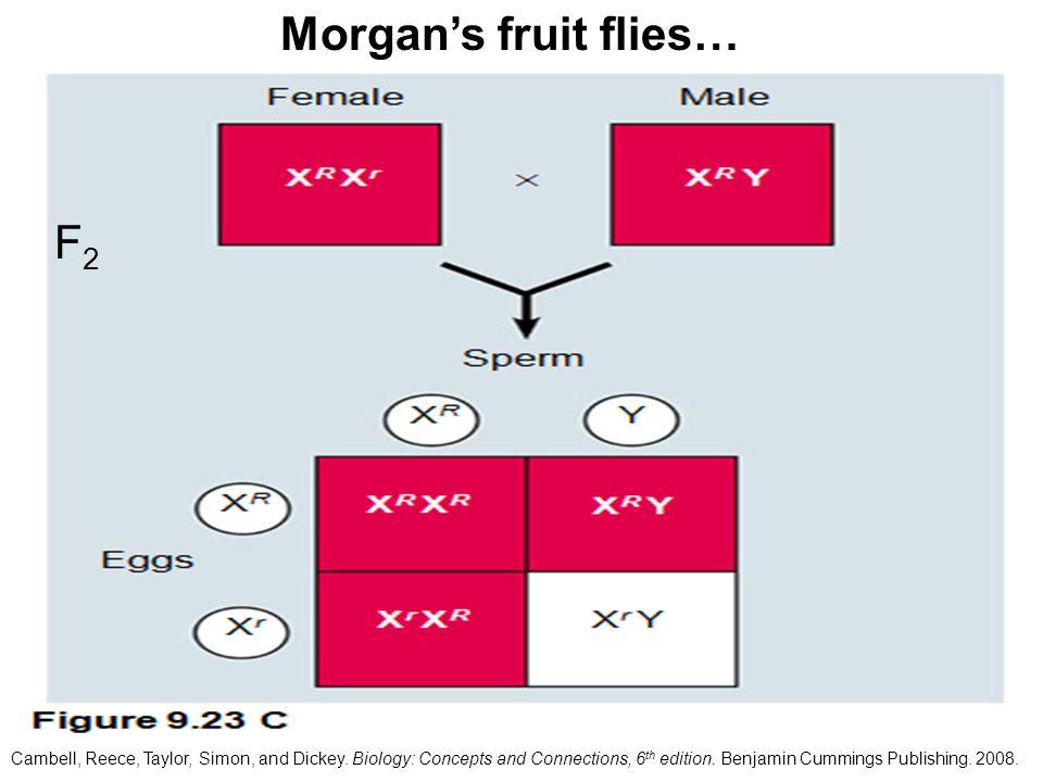 Morgan's fruit flies… F2