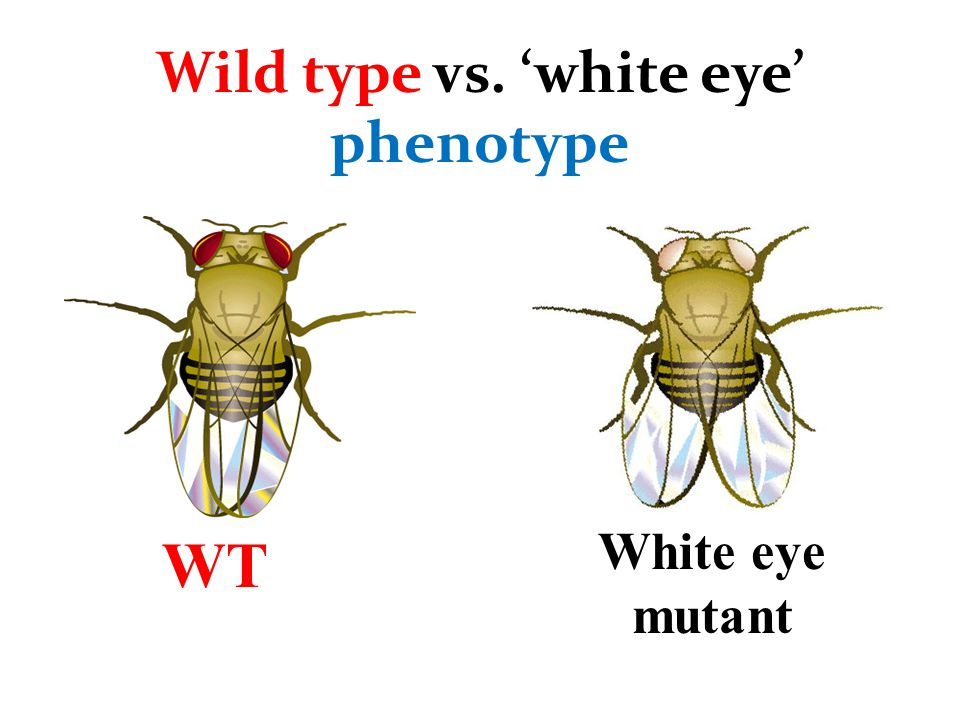 Wild type vs. 'white eye' phenotype