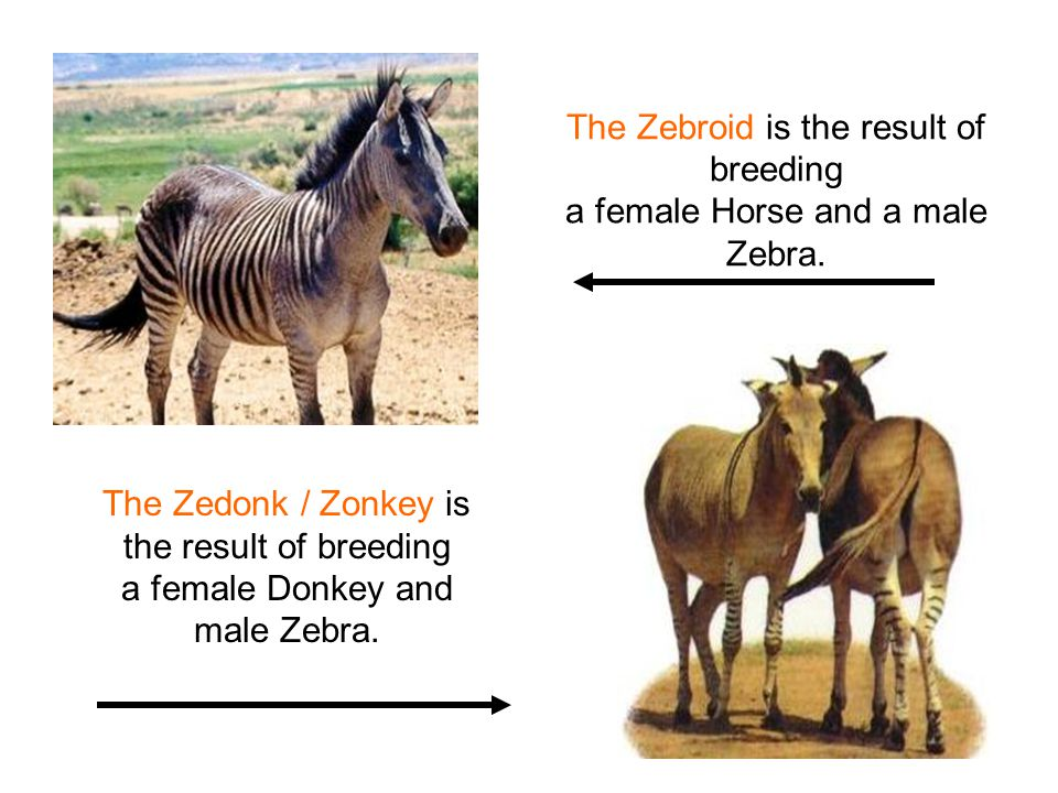 The Zebroid is the result of breeding a female Horse and a male Zebra.