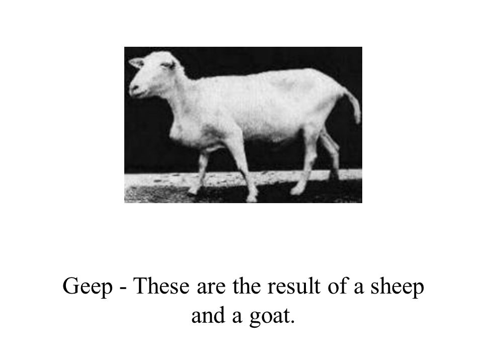 Geep - These are the result of a sheep and a goat.