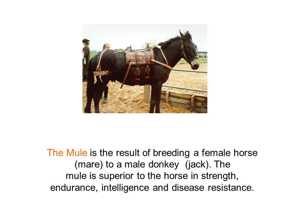 The Mule is the result of breeding a female horse (mare) to a male donkey (jack).