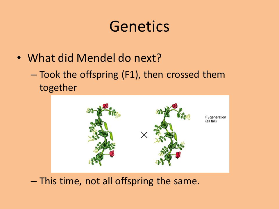 Genetics What did Mendel do next