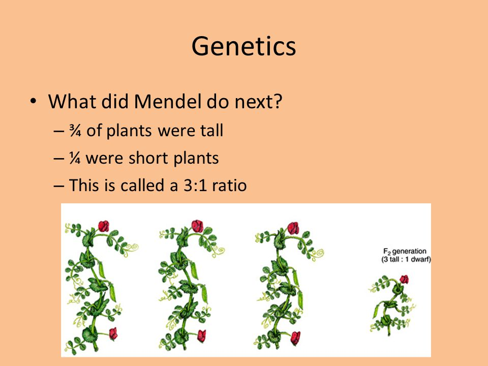 Genetics What did Mendel do next ¾ of plants were tall