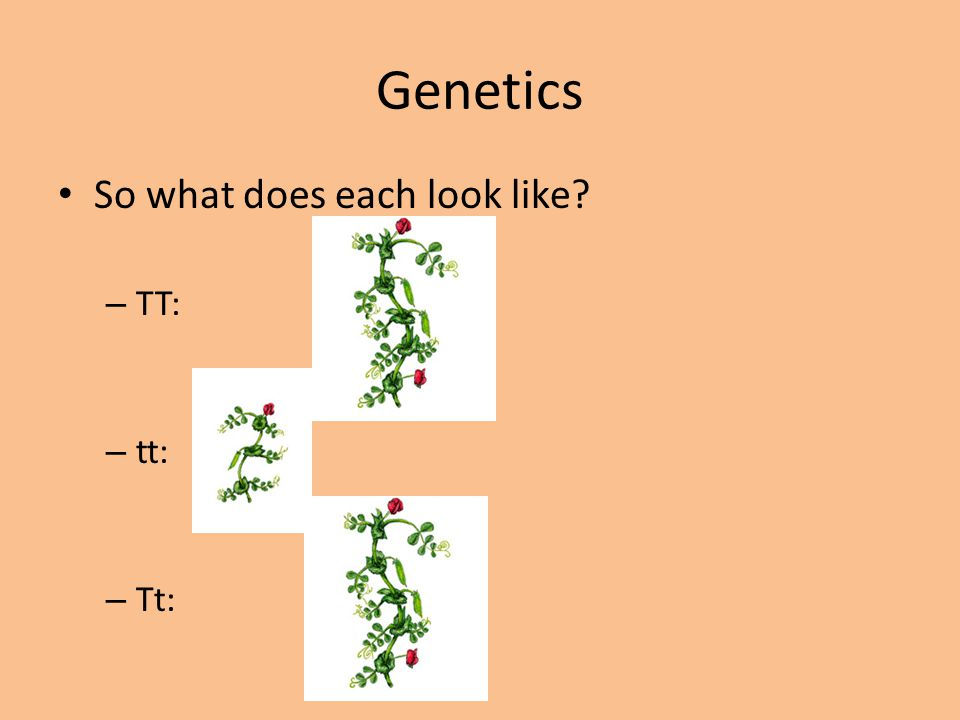 Genetics So what does each look like TT: tt: Tt: