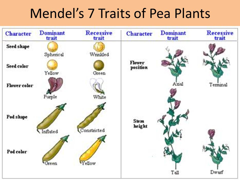 Mendel's 7 Traits of Pea Plants
