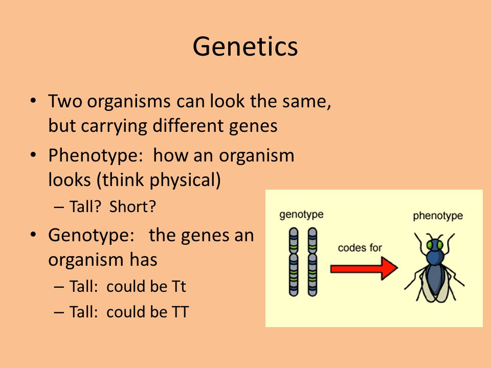 Genetics Two organisms can look the same, but carrying different genes