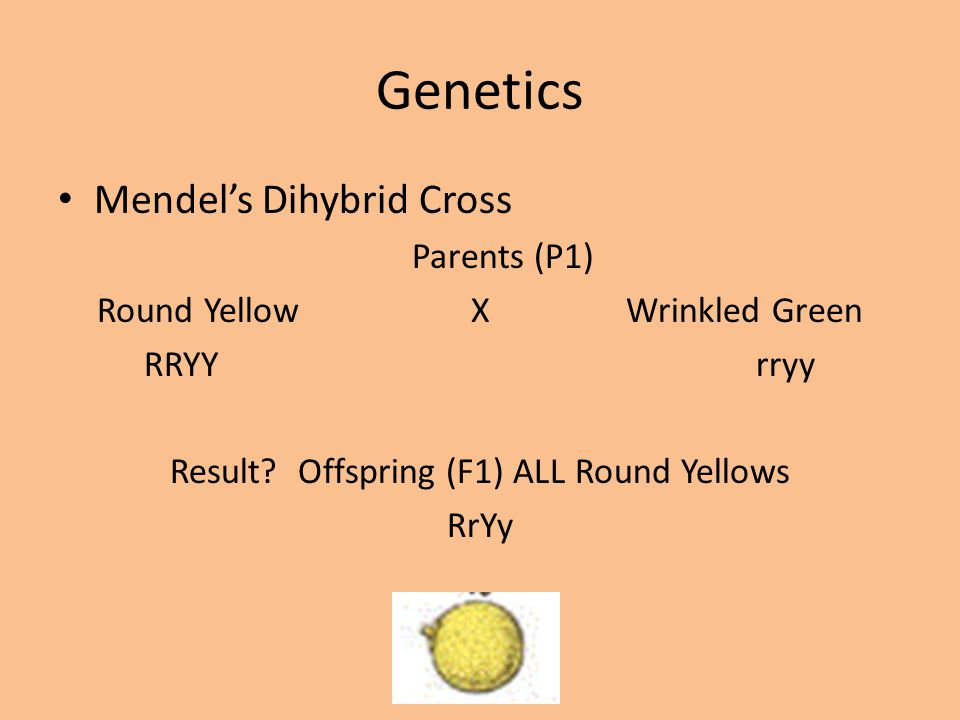 Genetics Mendel's Dihybrid Cross Parents (P1)