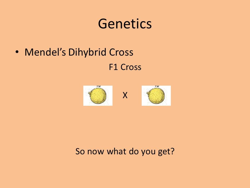 Genetics Mendel's Dihybrid Cross F1 Cross X So now what do you get