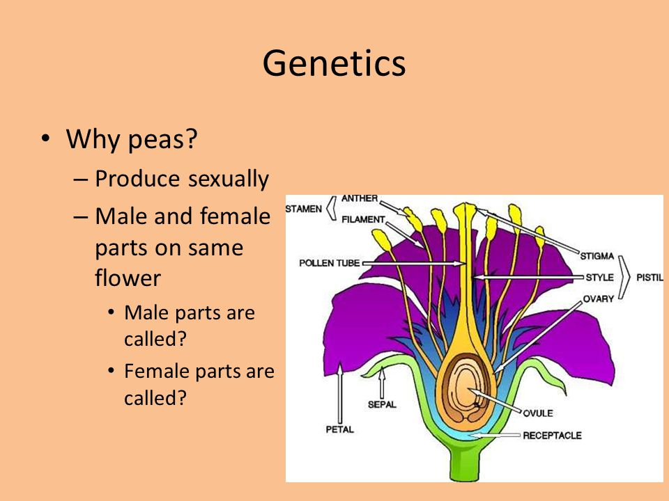 Genetics Why peas Produce sexually