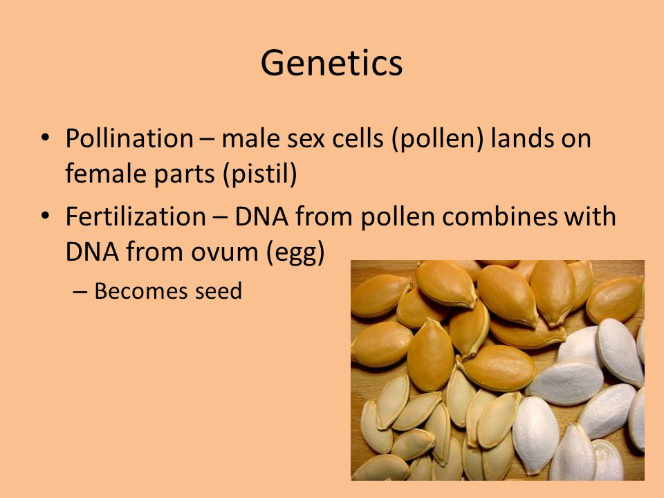 Genetics Pollination – male sex cells (pollen) lands on female parts (pistil) Fertilization – DNA from pollen combines with DNA from ovum (egg)