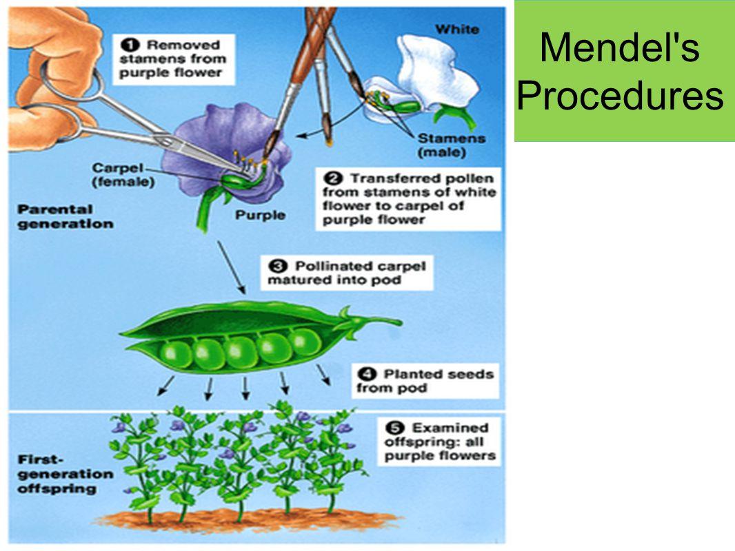 Mendel s Procedures