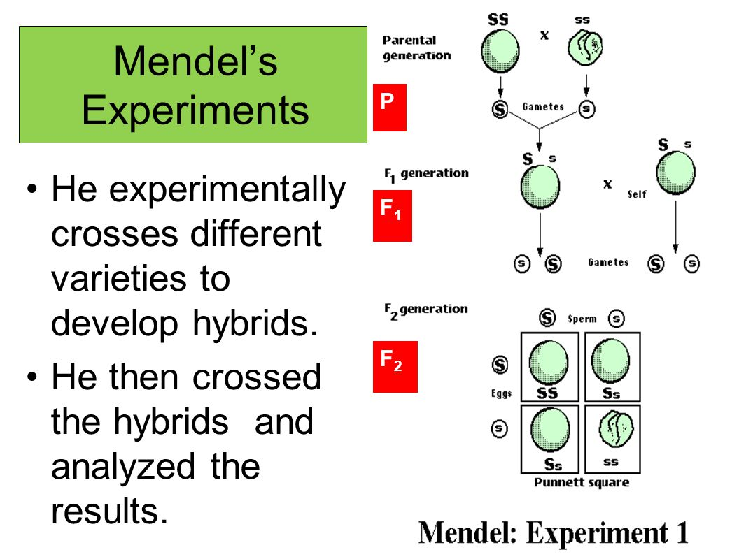 Mendel's Experiments P. He experimentally crosses different varieties to develop hybrids. He then crossed the hybrids and analyzed the results.