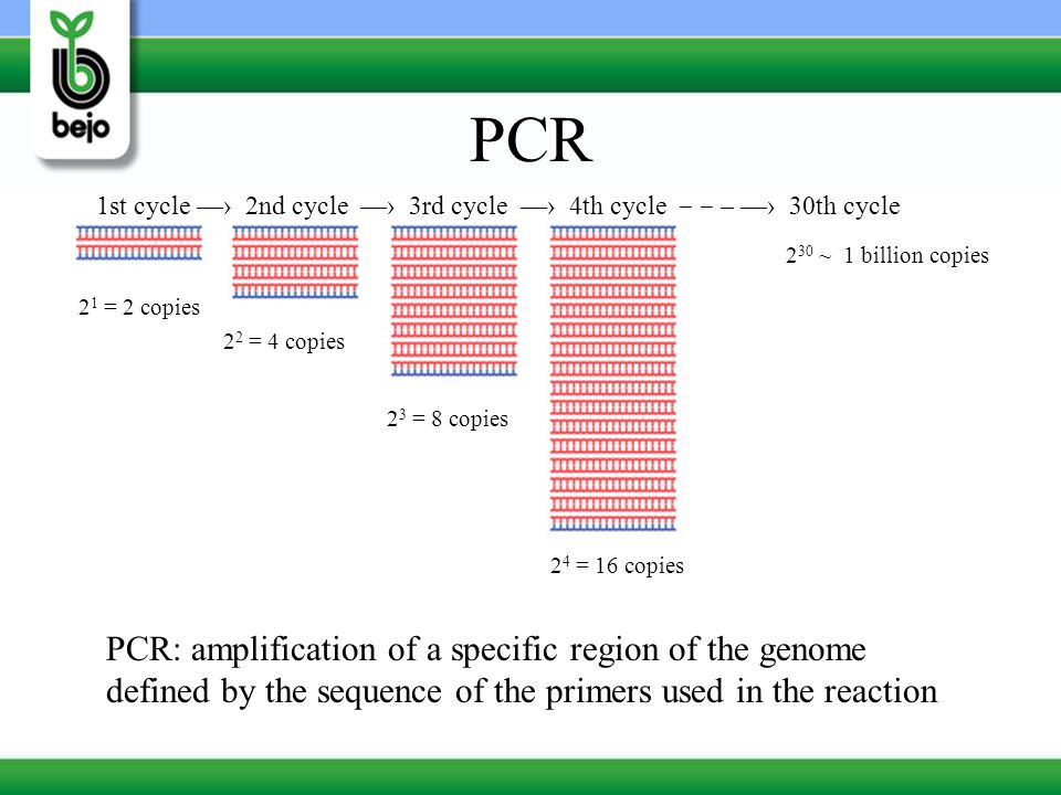 PCR 1st cycle —› 2nd cycle —› 3rd cycle —› 4th cycle ‒ ‒ – —› 30th cycle. 230 ~ 1 billion copies.
