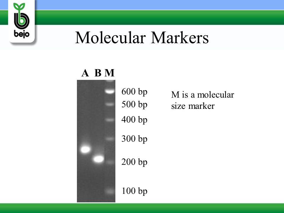 Molecular Markers A B M 600 bp M is a molecular size marker 500 bp