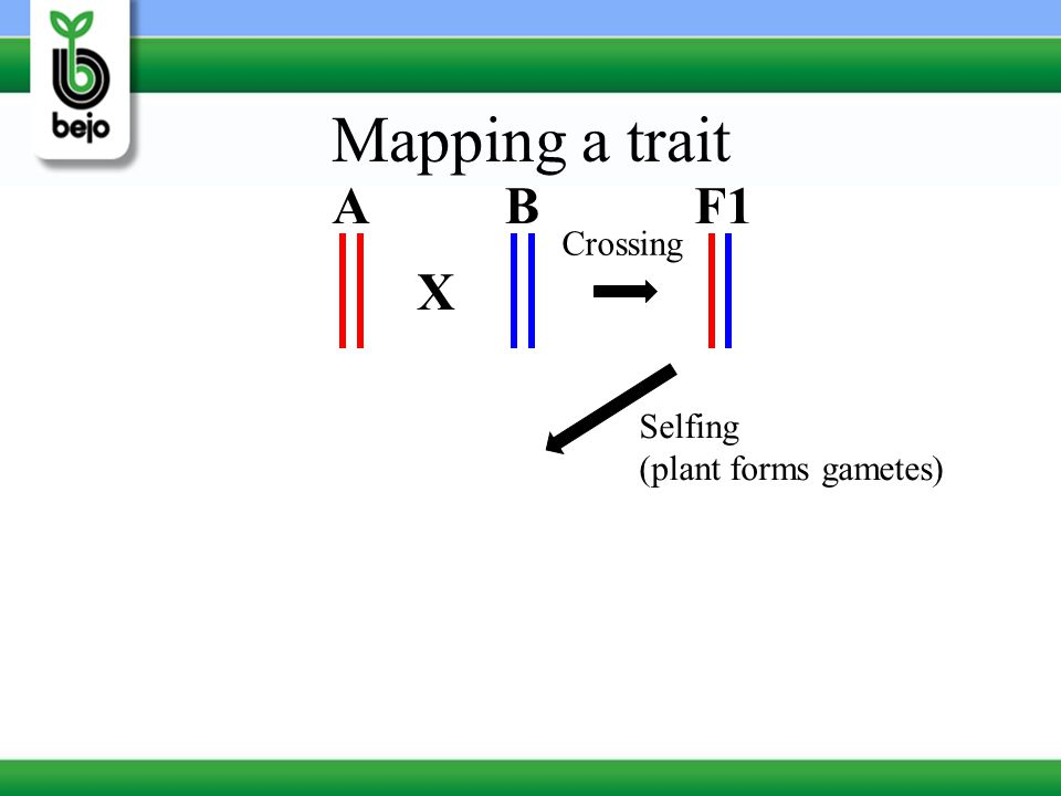 Mapping a trait A B F1 Crossing X Selfing (plant forms gametes)