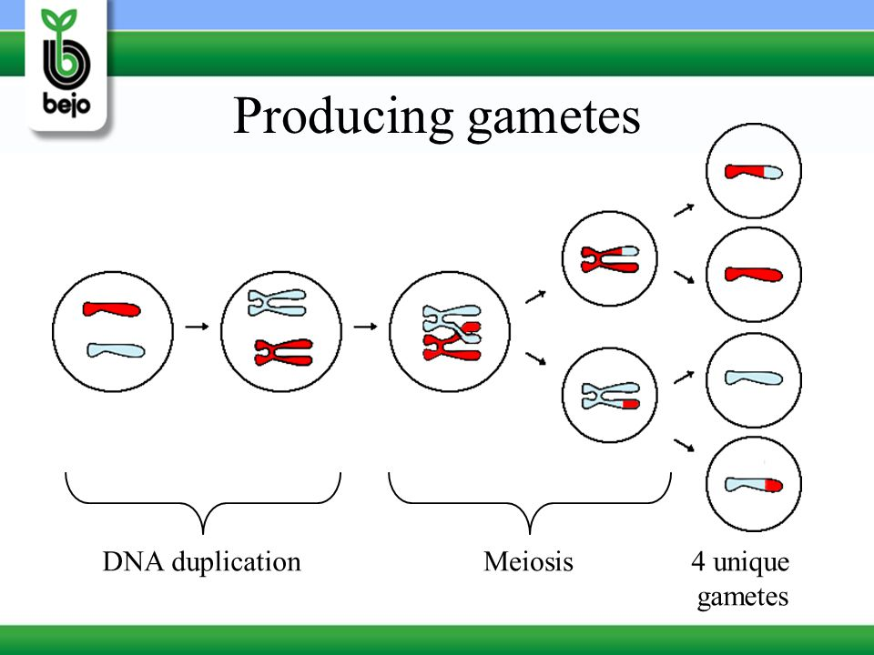 Producing gametes DNA duplication Meiosis 4 unique gametes