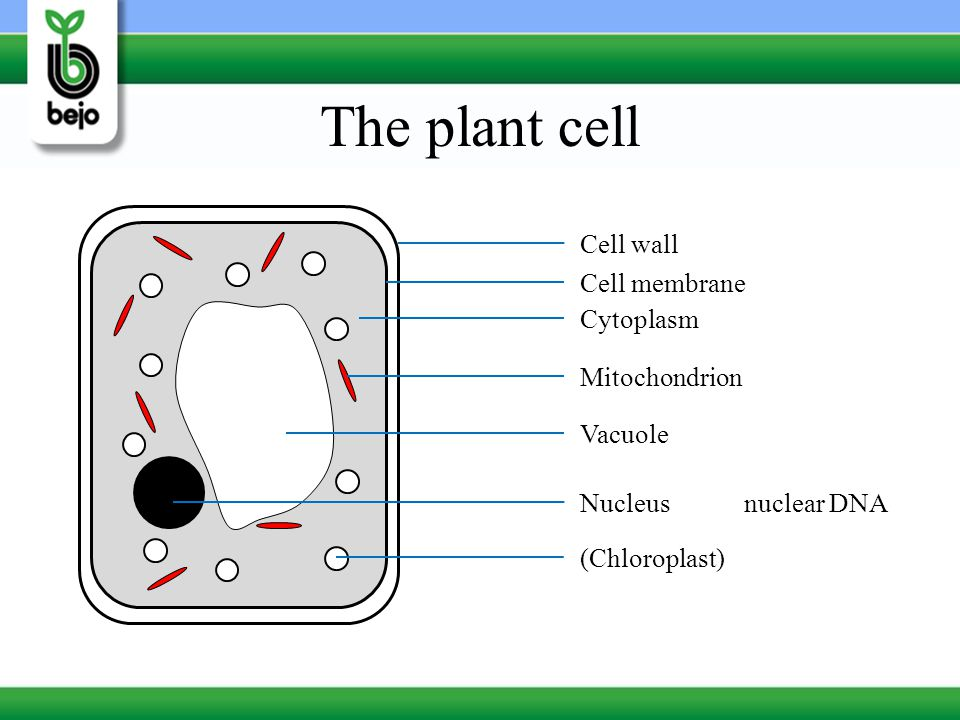 The plant cell Cell wall Cell membrane Cytoplasm Mitochondrion Vacuole