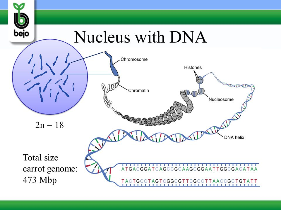 Nucleus with DNA 2n = 18 Total size carrot genome: 473 Mbp