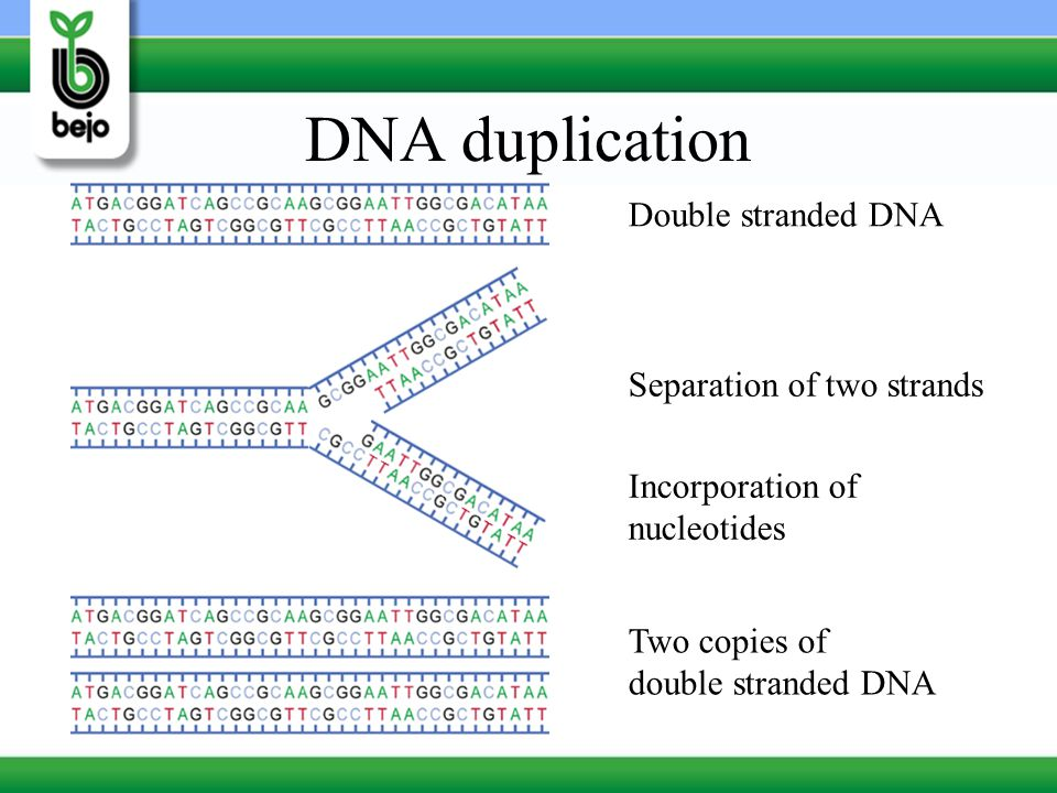 DNA duplication Double stranded DNA Separation of two strands