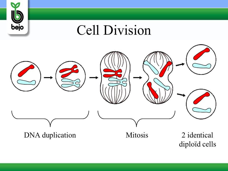 2 identical diploïd cells