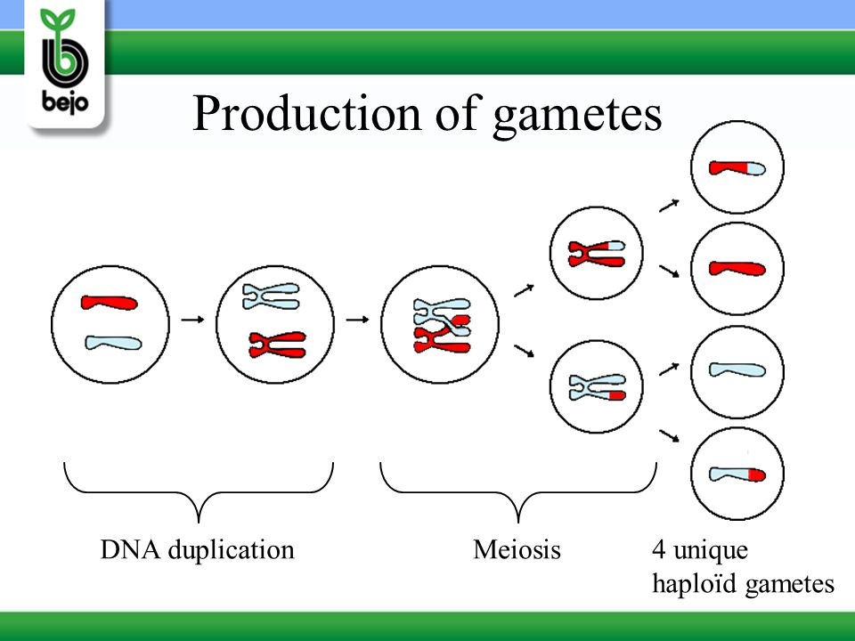 Production of gametes DNA duplication Meiosis 4 unique haploïd gametes