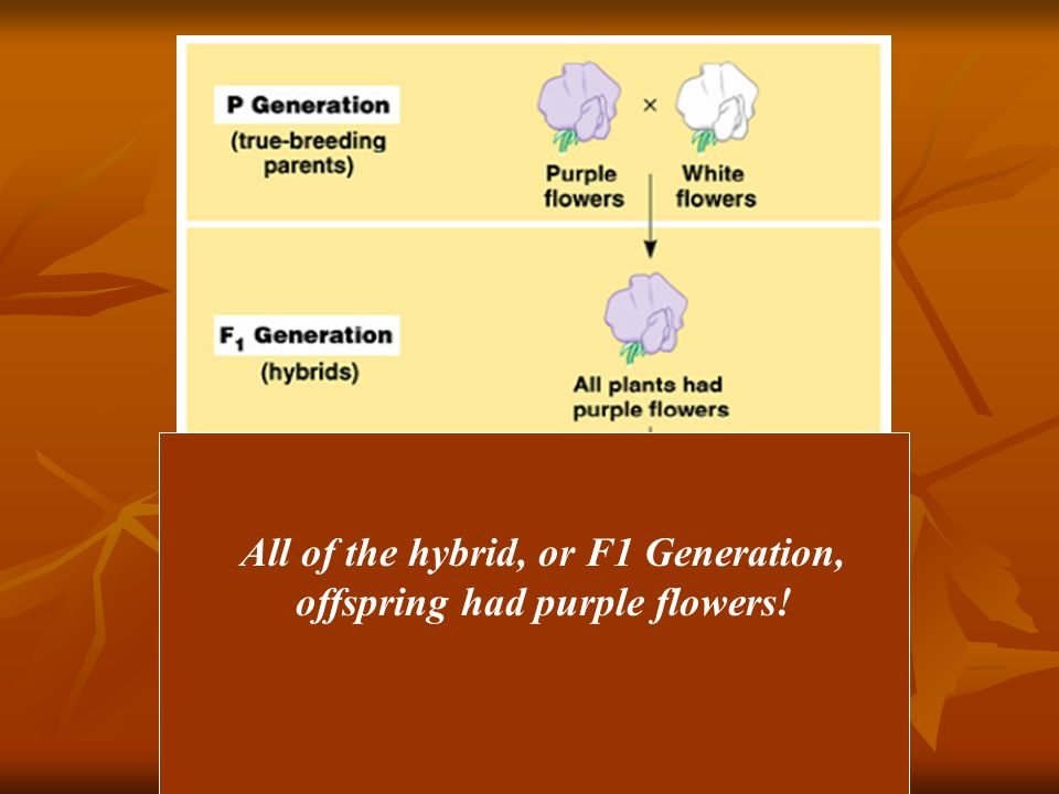 All of the hybrid, or F1 Generation, offspring had purple flowers!