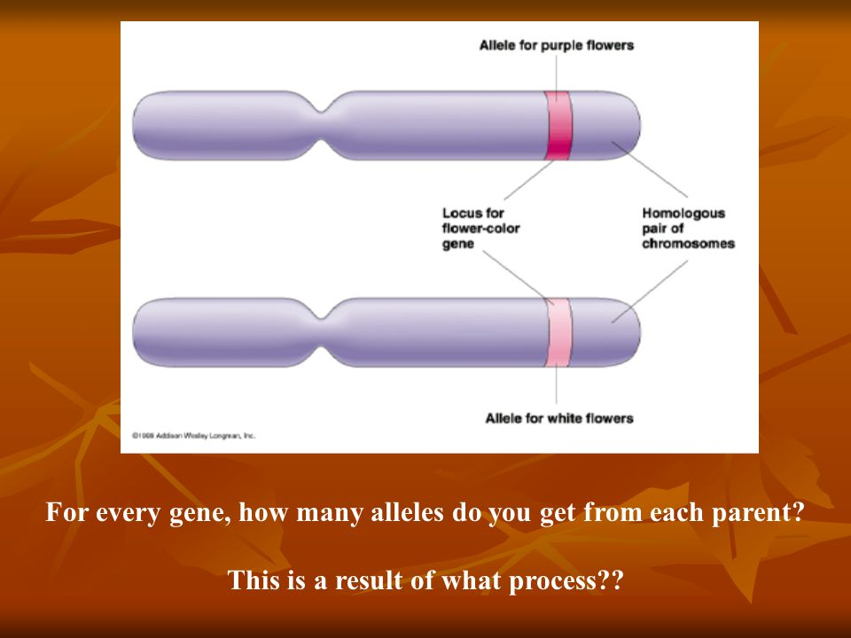 For every gene, how many alleles do you get from each parent