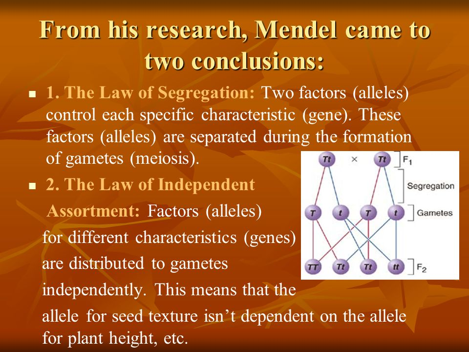 From his research, Mendel came to two conclusions: