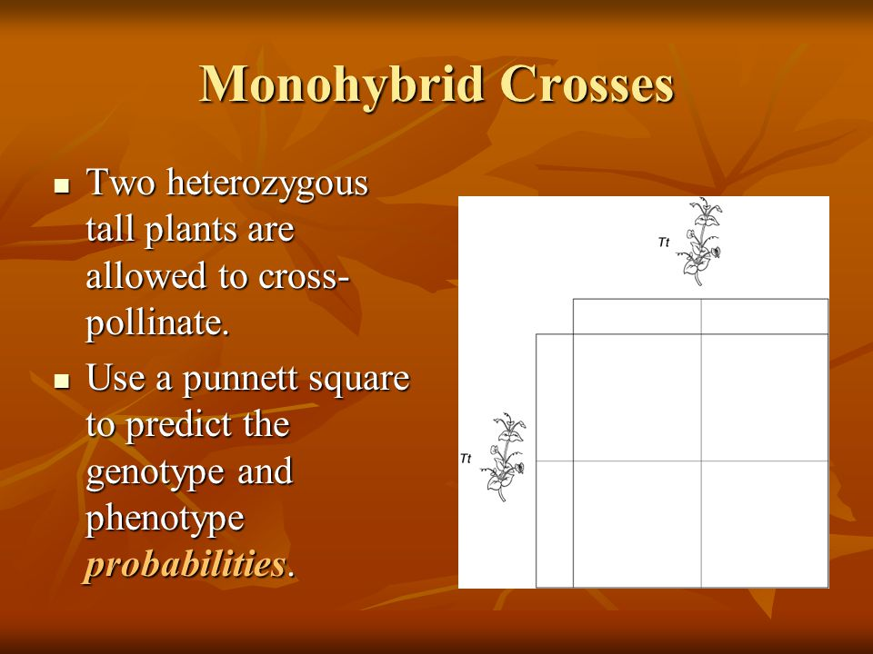 Monohybrid Crosses Two heterozygous tall plants are allowed to cross-pollinate.