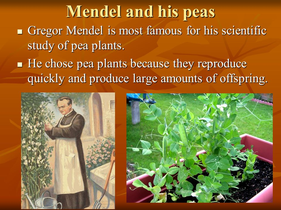 Mendel and his peas Gregor Mendel is most famous for his scientific study of pea plants.
