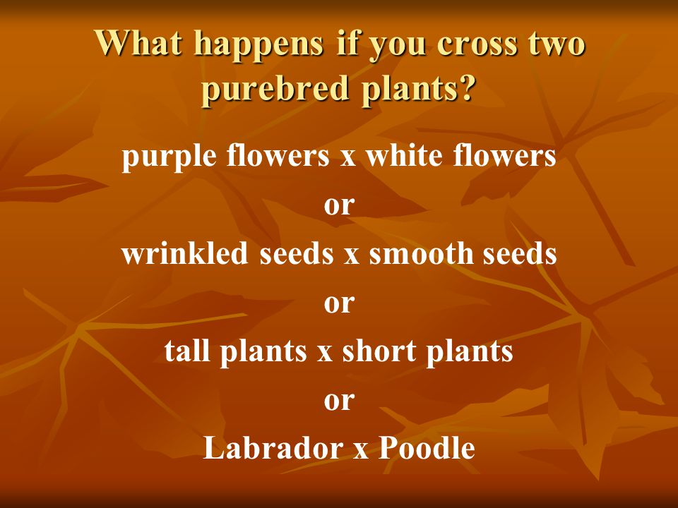 What happens if you cross two purebred plants