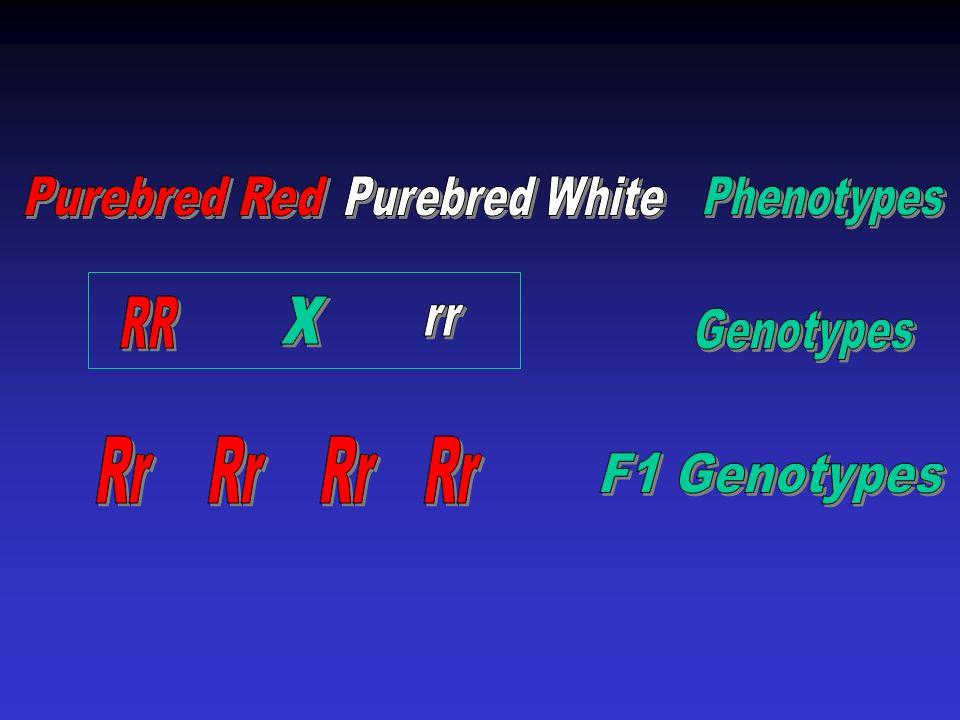 Purebred Red Purebred White Phenotypes x Rr Rr Rr Rr RR rr Genotypes