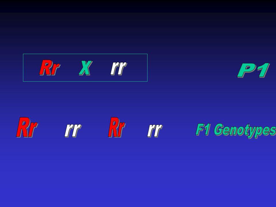 Rr x rr P1 Rr Rr rr rr F1 Genotypes
